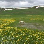 Английский Пойнтер островная легавая-min