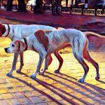 английский пойнтер островная легавая собака