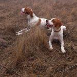 два пойнтера на охоте