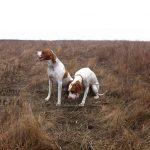 охота на фазана с пойнтером-min