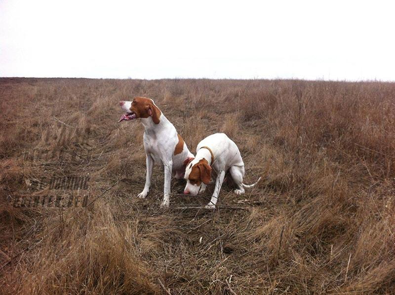 собаки на охоте осенью