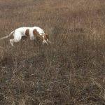 охота на перепела с собакой-min