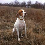 охота с легавой собакой осенью на птицу-min