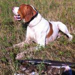 пойнтер порода собаки для охоты