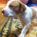 продам щенка английский пойнтер-min