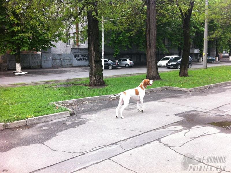 E-Dominic английский пойнтер Днепр Киев Украина