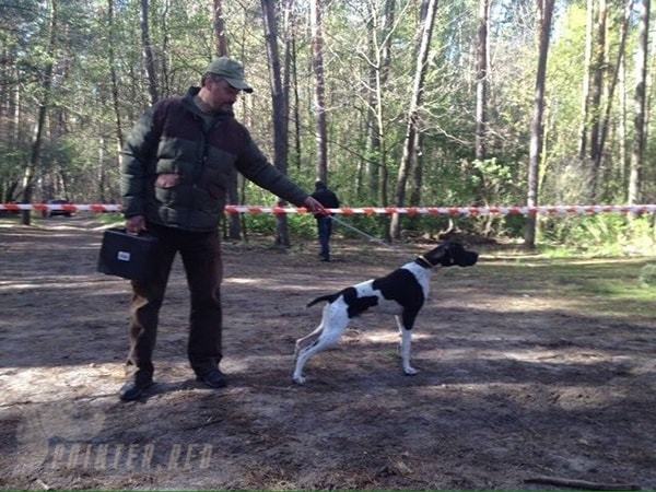 щенки-английский-пойнтер-отец-Daks-Полтава-Украина-min
