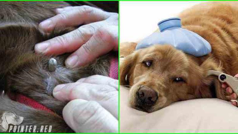 клещи на собаках симптомы и лечениеклещи на собаках симптомы и лечение