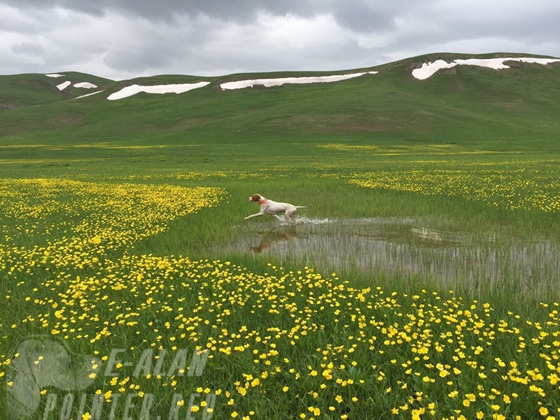 Английский Пойнтер островная легавая-min (1)