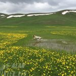 Английский Пойнтер островная легавая