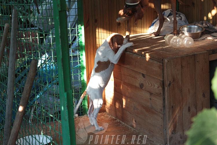 щенки на продажу английский пойнтер мать Getta