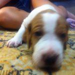 купить щенка островной легавой