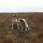 охота на фазана и куопатку украина