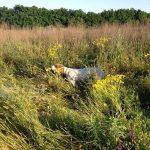 охота на перепела с собакой