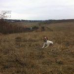 охота с легами собаками фото