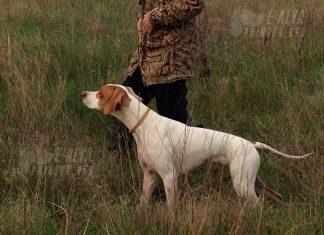 охота с пойнтером в поле украина
