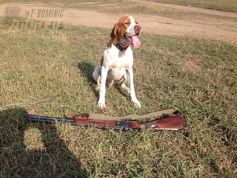 E-Dominic английский пойнтер на охоте