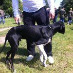 охотничья выставка 2016 Днепр Украина черно-пегий английский пойнтер