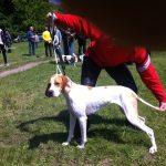 охотничья выставка 2016 Днепр Украина красно-пегий поинтер