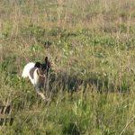 черно пегий пойнтер на охоте Днепр Украина-